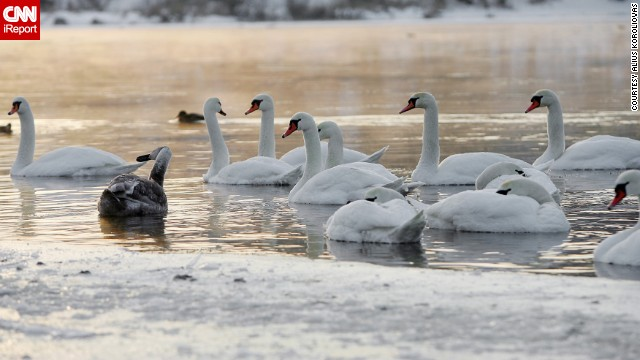 Swans swim in the frigid Nemunas River during the chilly Lithuania winter. Luckily, animal welfare officials were on hand to make sure they didn't get trapped in the ice. See more photos on <a href='http://ireport.cnn.com/docs/DOC-906183'>CNN iReport</a>.