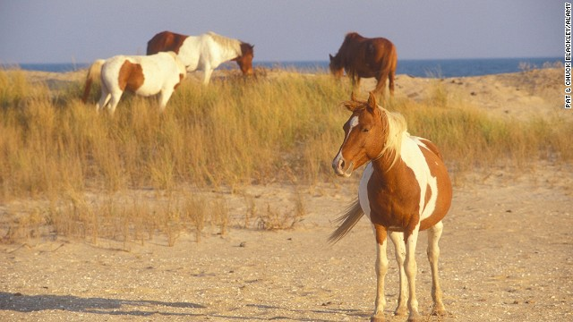 Chincoteague, Virginia, is the gateway to the Assateague Island National Seashore, a nature refuge that's home to wild ponies, herons, woodpeckers and foxes.
