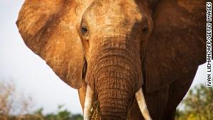 130618175109-elephant-ivory-03-story-bod
