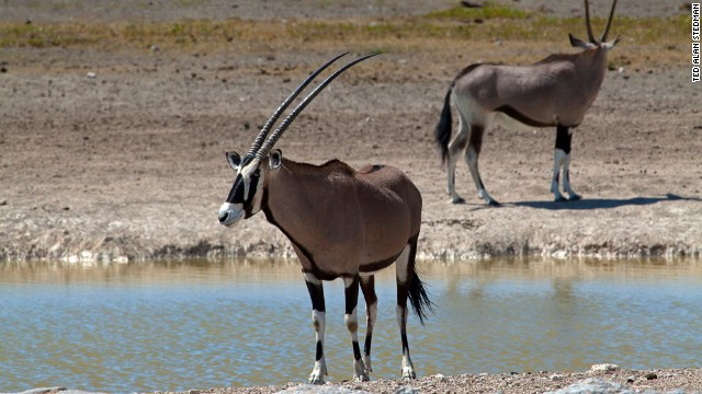 From space, the Etosha Pan dominates all other features in southern Africa. Waterholes are the prime wildlife watching zones in this vast, dry area. Here you might see the Namibian oryx, a regal African antelope whose males have been known to gore attacking lions with sharp horns that grow to more than 70 centimeters.
