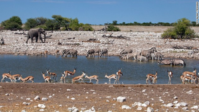 In Etosha, perennial waterholes such as Okaukuejo provide a lifeline for wildlife. From an adjoining rest camp, you can watch elephant, zebra, kudu and springbok taking water. Lions often visit, scattering other species; at night, when the waterhole is illuminated, black rhino are regular visitors.