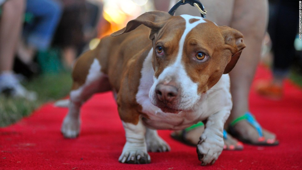 Tammie Barbee walks her dog Walle, a Beagle-Bassett-Boxer mix, down the red carpet at the start of the 2013 World's Ugliest Dog competition in Petaluma, California, on Friday, June 21. Click through to see some of the other contestants and their owners.