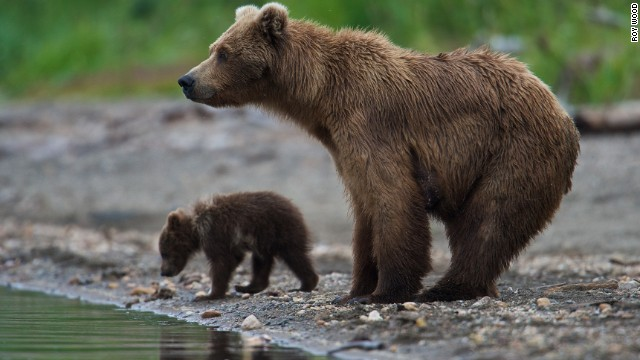 Brown bears are the same species as grizzly bears. Keep at least a 50-yard distance from all bears in Katmai, and never separate a mother from her cub.
