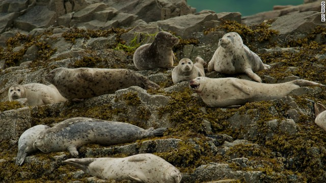 Harbor seals lounge on the rocks in Katmai's Kukak Bay.
