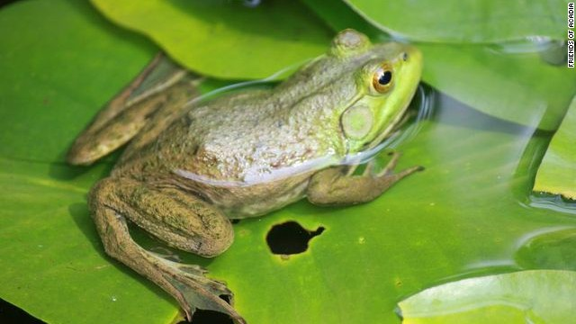 Acadia is home to 11 species of amphibians, including six kinds of frogs.