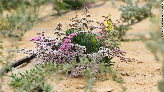 The violet plant, Limonium axillare, takes salt up from the soil and excretes it through its leaves, a process that could be used to desalinate soil.