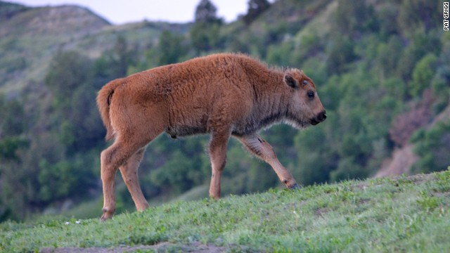 Bison calf have red coats when they are born but slowly turn brown as they age, says Naylor.