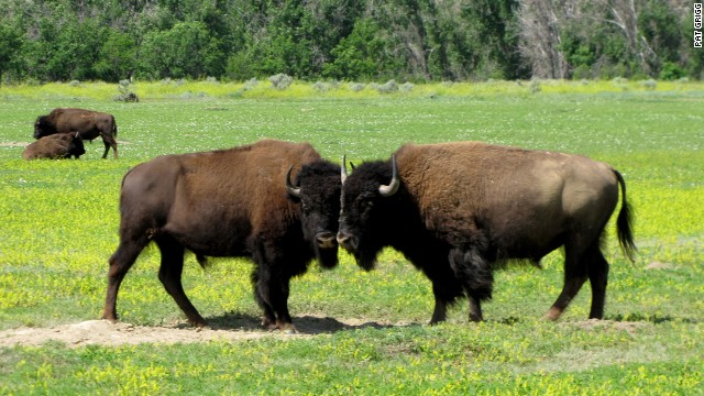 Bison were on the brink of extinction in 1883 when future President Theodore Roosevelt came to North Dakota on a hunting expedition.