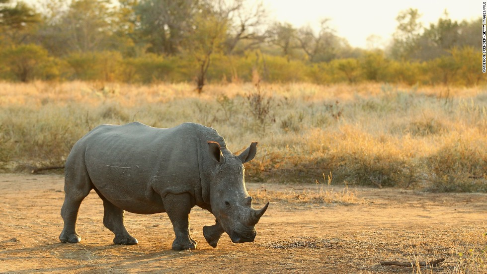 Rhinos have been under attack in recent years by rampant poaching. Highly equipped criminal syndicates target their horns, which are highly coveted in southeast Asia for their supposed healing powers.