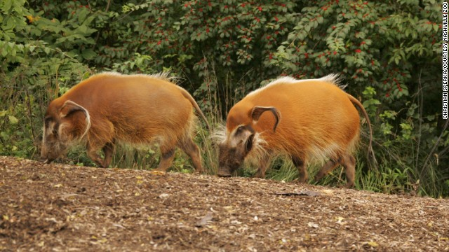 Unlike the clouded leopards, these red river hogs like company and often live in small families of three to six hogs. Those families join other families to form groups of 11 to 15 hogs. They are native to West and central sub-Saharan Africa.