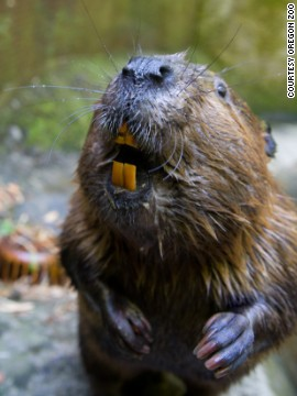 The <a href='http://www.oregonzoo.org' target='_blank'>Oregon Zoo </a>wouldn't be complete without the beaver, the state animal and the largest rodent in North America. Admire them and their dens at the zoo's Cascade Stream and Pond habitat.