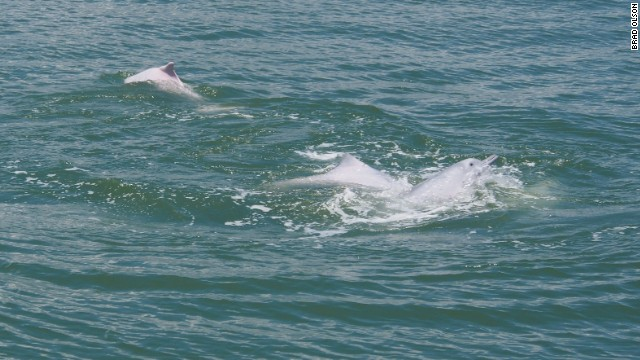 China's white dolphins -- famous for the actual pink hue of their skin -- could be wiped out completely.