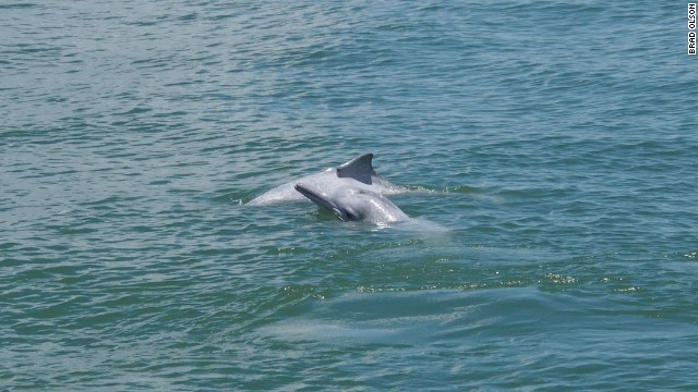 The Chinese white dolphins exemplify a tug between conservation and business.