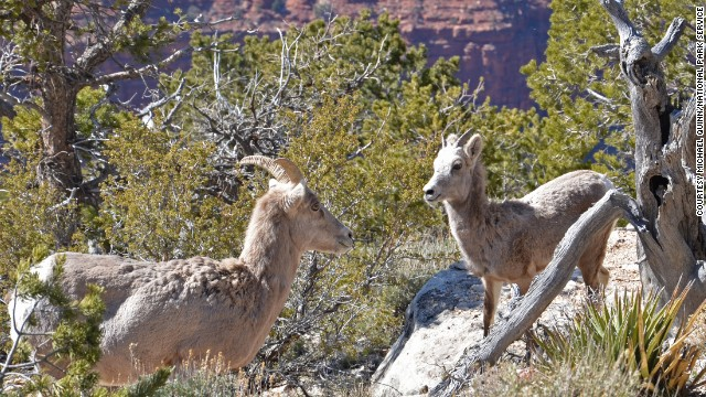 Bighorn sheep migration patterns are determined by elevation, making the Grand Canyon a perfect habitat.