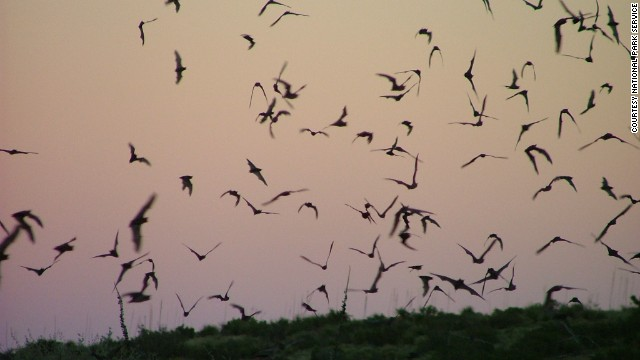 The bats swirl out of the cave just before dusk to hunt and return gorged with food before dawn.