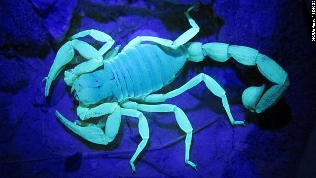 Nevada's national wildlife refuges are home to scorpions, an arachnid with an exoskeleton that glows under an ultraviolet light.