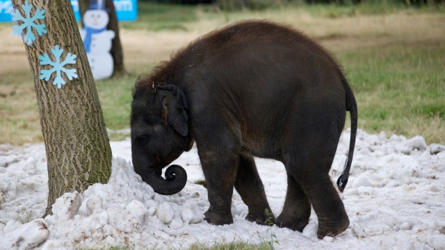 A young elephant cools down with snow delivered to the Whipsnade Zoo near Dunstable in Bedfordshire, England, on July 25.