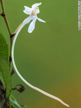 During their four-week expedition, the scientists documented at least 1,200 species of animals and plants on the Cheringoma Plateau. Here, a tree orchid (Aerangis mystacidii), one of the 17 species of orchids found on the Cheringoma Plateau.