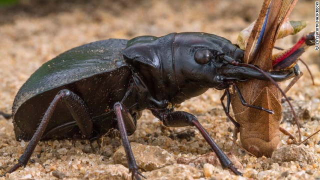A male Monster Tiger Beetle (Manticora latipennis) killing a grasshopper, one of its favorite prey items.