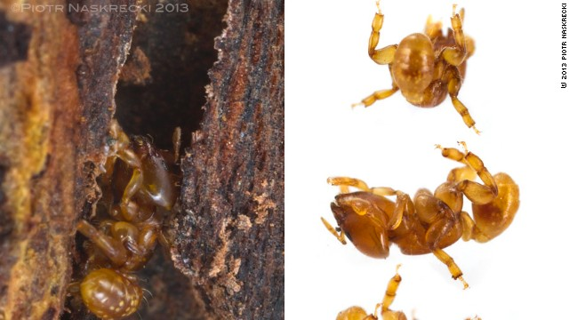 Melissotarsus emeryi is the world's only ant incapable of walking on flat surfaces. This species spends its life inside narrow passage deep in the wood of trees and can only move by pushing its short legs below and above the body at the same time.