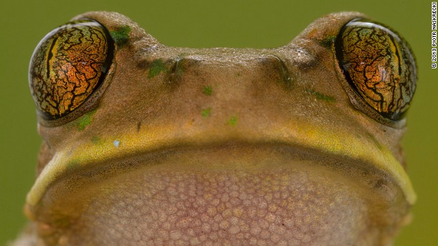 Here, one of the 33 species of frogs recorded during the expedition at the park's Cheringoma Plateau.