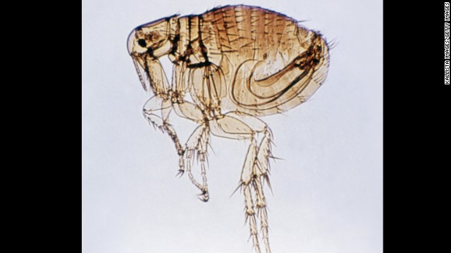 Fleas often cause allergic reactions on a dog's skin. If a dog swallows a flea, they can develop tapeworm.