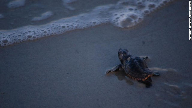Cape Hatteras National Seashore is one of the northern-most ranges for sea turtle nesting on the East Coast.