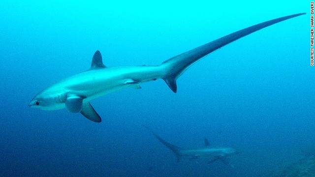 Malapascua's Monad Shoal was recently designated a marine park to protect thresher sharks. Threshers' tails can make up to half their body length, which can grow to as long as six meters.