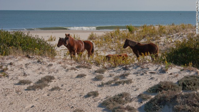 <a href='http://www.nps.gov/asis/naturescience/horses.htm' target='_blank'>Assateague Island National Seashore</a> is home to feral horses. The national seashore is located in Maryland and Virginia, and each state has a herd of horses.