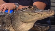 "Piers Morgan meets ""Fred"" the alligator"