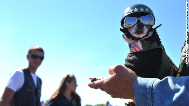 Isaiah, a pup from Browntown, Virginia, participated in the Rolling Thunder First Amendment Demonstration Run in Washington.