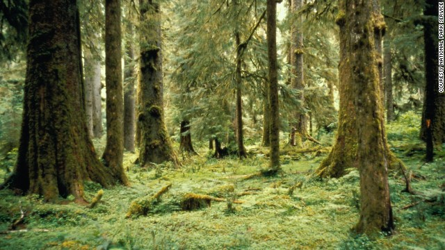 Olympic's Hoh and Quinault temperate rain forests receive more than 12 feet of rainfall each year.