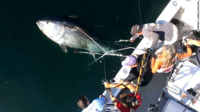 Gregg Looney and his friends work to bring in a 920-pound Bluefin tuna caught a few miles off the coast of Provincetown, Massachusetts, last week.