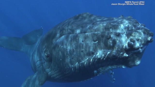 La ballena jorobada logra alejarse de la «marea» que lleva a la extinción