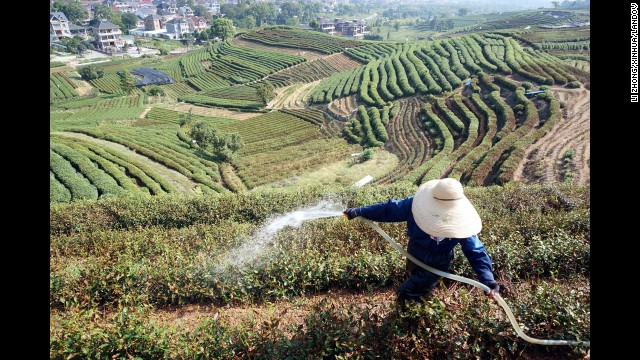A farmer irrigates tea plants in eastern China's Zhejiang province on August 11.