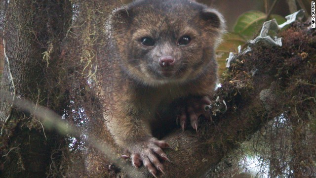 Smithsonian scientist Kristofer Helgen spent 10 years studying museum specimens and tracking animals in the wild in the cloud forests of Ecuador. The research led to the discovery of the olinguito as its own species.