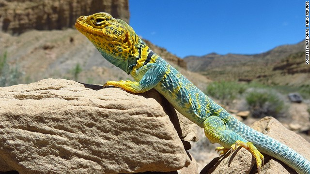 The collared lizard pursues prey by running on its hind legs. Its stride can be up to three times the length of its bodies.