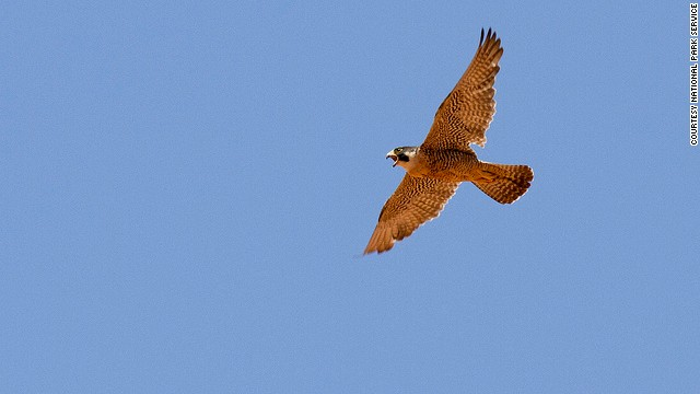The peregrine falcon uses a dive called a stoop to snatch smaller birds in mid-flight.