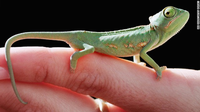 "Chameleons are blessed with a permanent ""not bad"" expression."