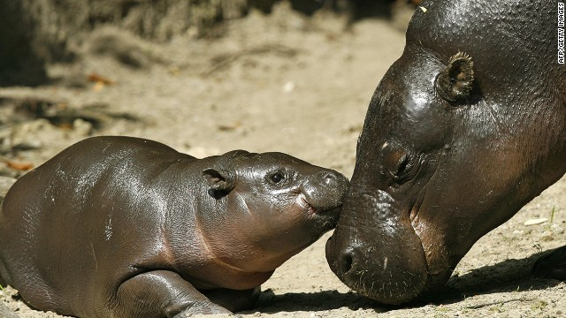 XXS: The baby pygmy hippopotamus.