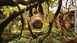 Sloths live most of their lives in the trees -- mating, birthing and even dying up there.