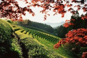 Campos de té de Boseong, Corea del Sur