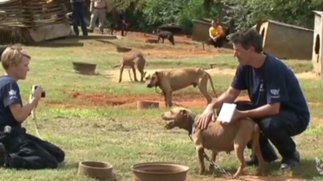 Dog Fighting Ring  Pit Bulls Rescued