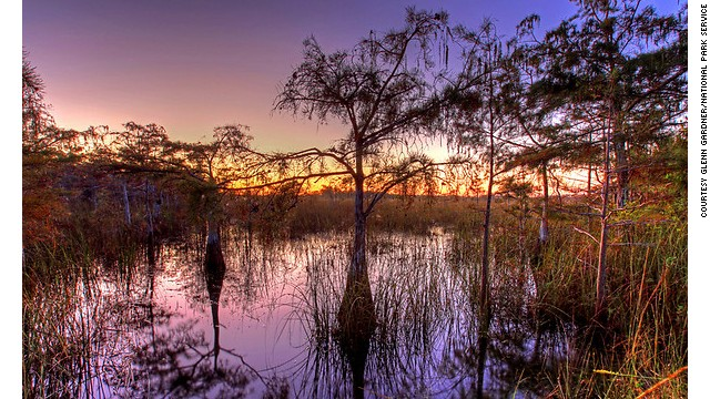 Cypress trees are flood-tolerant. Two species, bald and pond, grow in the Everglades.