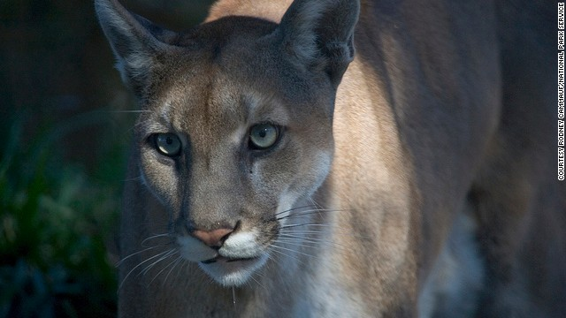 The National Park Service estimates that there are fewer than 100 Florida panthers in South Florida.