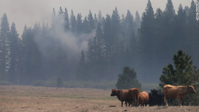Smoke from the Rim Fire drifts past cattle in a field near Yosemite National Park on August 28.