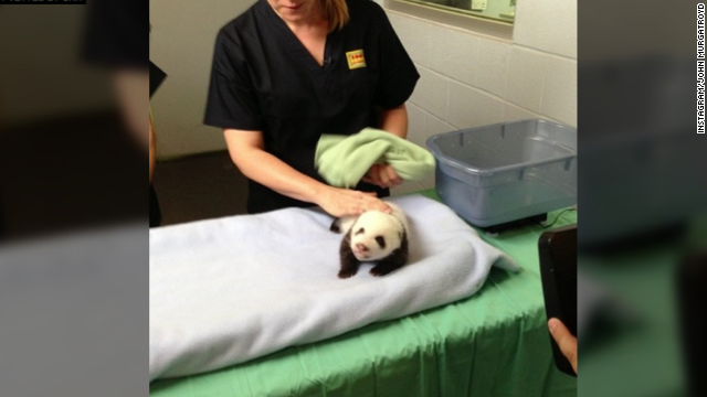 Look! It's a panda getting petted.