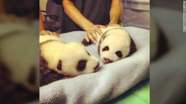 Zoo Atlanta's Baby Pandas Get Cute on Instagram