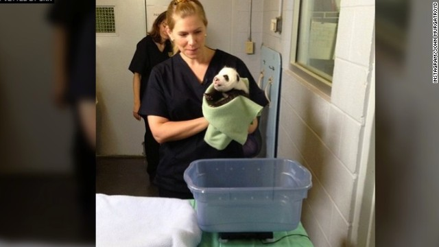 "Panda ""A"" gets weighed. He's the more vocal of the two brothers, making purring noises like a cat at one point."