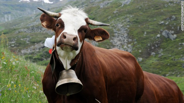 Who cares what anyone else says. Cows are cute. And this one has a freakin' bell. Come on!